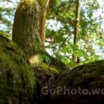 (石川県)加賀の三大杉を撮影してきました。